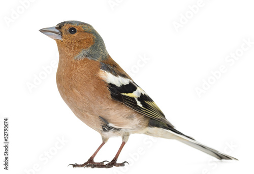 Common Chaffinch, isolated on white, Fringilla coelebs
