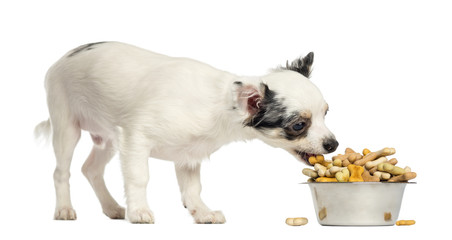 Chihuahua puppy eating dog biscuits from a bowl