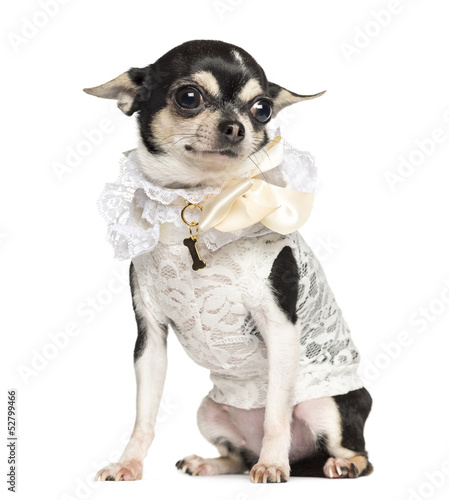 Chihuahua dressed with lace shirt, sitting, 18 months old