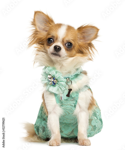 Chihuahua wearing a green dress sitting, looking at the camera
