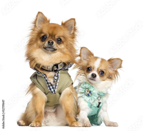 Two dressed up Chihuahuas sitting, 10 months and 2 years old
