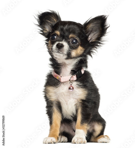 Chihuahua puppy wearing fancy collar, 3 months old, isolated