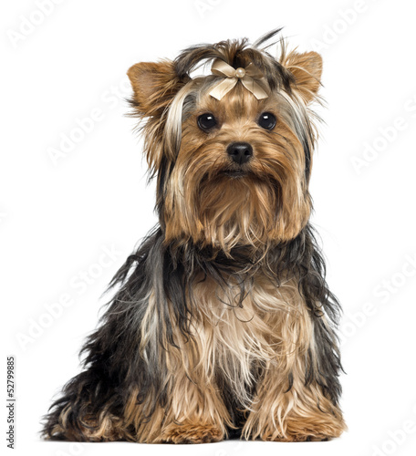 Yorkshire Terrier wearing a bow, sitting, looking at the camera