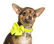 Close-up of a Chihuahua wearing a yellow bow collar