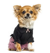 Dressed up Chihuahua sitting, facing, 14 months old, isolated