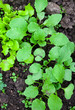 growing radishes and lettuce