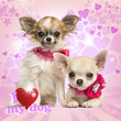 Two Chihuahua puppies with bow collars, on heart background