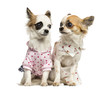 Two dressed-up Chihuahuas sitting, 9 months old, isolated