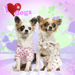 Two Chihuahuas dressed up on heart background, 9 months old