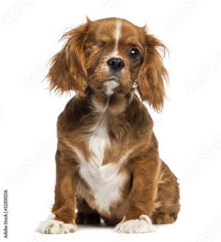 One-eyed Cavalier King Charles puppy sitting, 4 months old