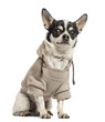 Sitting Chihuahua wearing a sweater, 18 months old, isolated