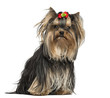 Yorkshire Terrier wearing a bow, sitting, 1 year old, isolated