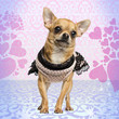 Dressed up Chihuahua on heart background, 3 years old