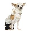 Dressed up Chihuahua sitting, looking at the camera, 3 years old