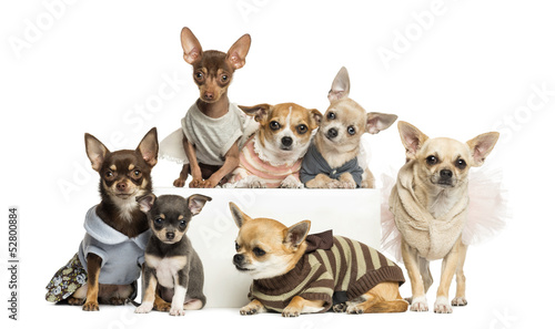 Group of dressed-up Chihuahuas, isolated on white