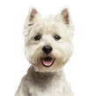 Close-up of a West Highland White Terrier, looking at the camera