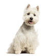 West Highland White Terrier panting, sitting, isolated on white