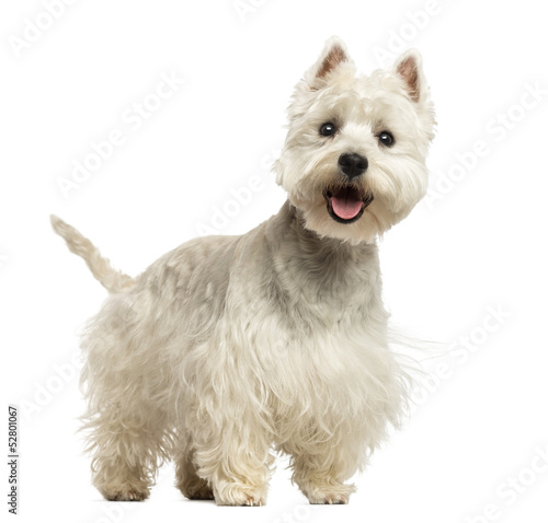 West Highland White Terrier panting, looking happy