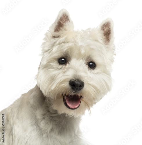 Fototapeta Close-up of a West Highland White Terrier, looking at the camera