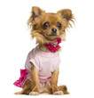 Dressed up Chihuahua, 10 months old, isolated on white