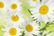 chamomile on a background bokeh