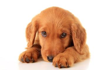 Golden Irish puppy