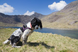 Spinger Spaniel waiting under Mount Snowdon, Wales.