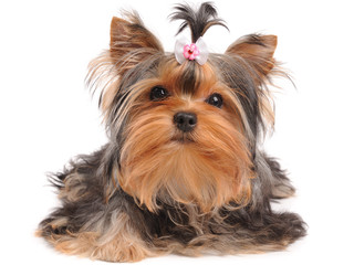 Yorkshire Terrier with small bow