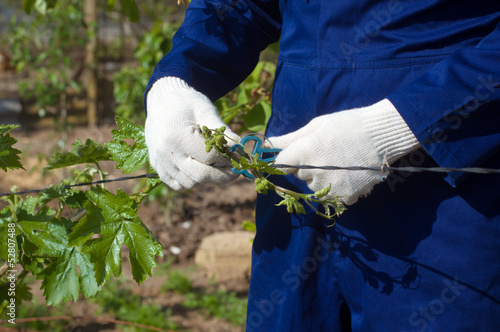 Close up of tying grape branches