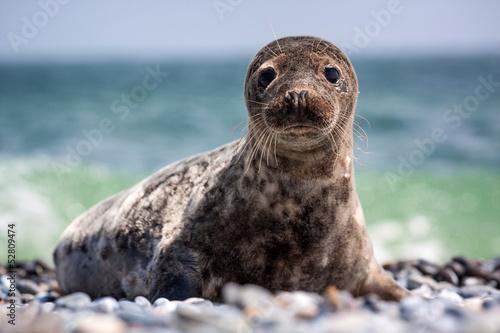 Fotobehang Leeuw seal