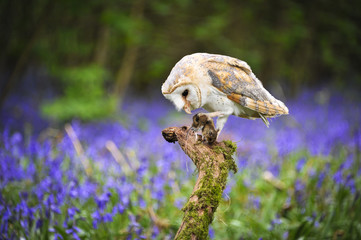 Barn Owl in Bluebell Wood 2