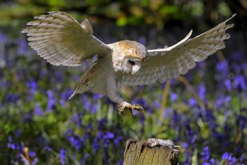 Barn Owl in Bluebell Wood 4