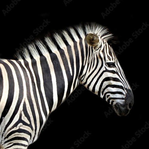 Foto op Canvas Zebra Zebra