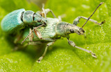 Mating of a couple of green snout beetles poster