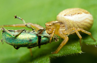 A crabspider catching a  green snout beetle
