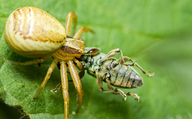 A crabspider catching a  snoutbeetle