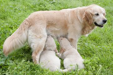 Allattamento cuccioli di cane
