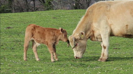 Mother cow and her calf/  A cow and her calf are lovingly p