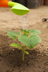 Watering a Young Cucumber plant