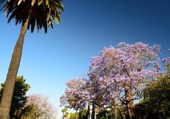 jacarandas y palmeras californias con un denso azul del cielo
