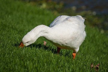 domestic goose grazing on fresh grass