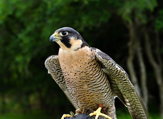 Peregrine Falcon (Falco peregrinus) fastest animal on earth