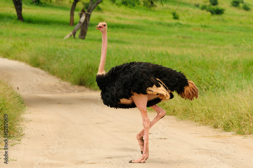 Wildlife Ostrich in safari in Africa