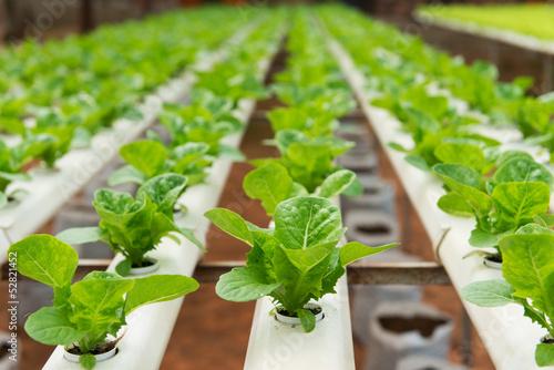 Leinwandbild Motiv Hydroponic vegetable