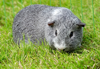Guinea pig on lawn
