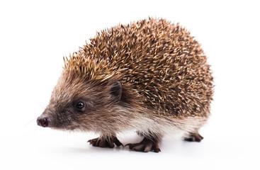 wild hedgehog isolated on white
