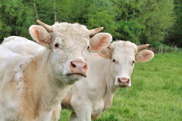 jeunes vaches charolaises