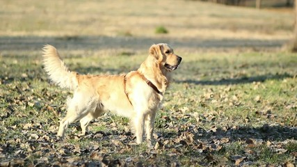 Golden retriever annusa e corre