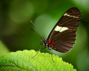 Macro image of Doris Longwing butterfly (Heliconius Doris)