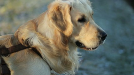 Golden retriever annusa l'aria